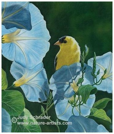 Oil Painting of a goldfinch on blue morning glories by Judy Schrader