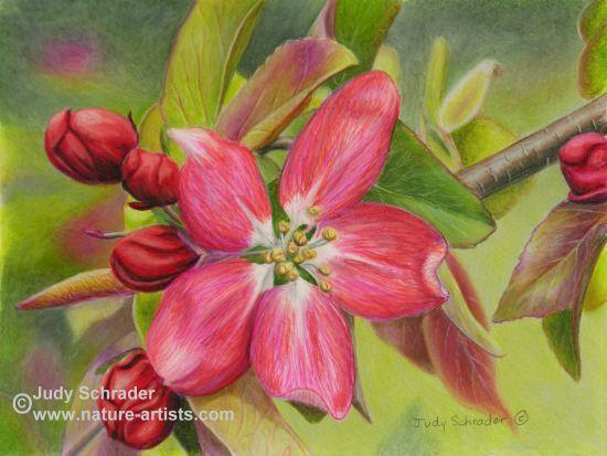Colored Pencil Drawing of a Crab Apple Blossom by Judy Schrader