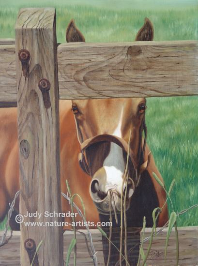 Oil Painting of a colt peeking through a fence, painted by Judy Schrader