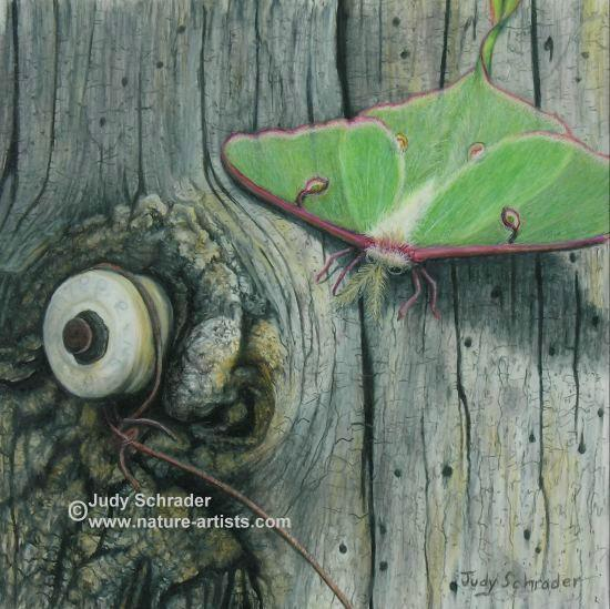 Colored Pencil Drawing of a luna moth on an old tree by Judy Schrader