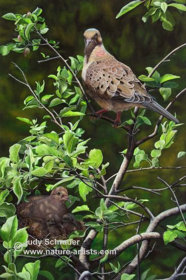 Oil Painting of family of Mourning Doves by Judy Schrader
