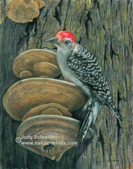 Colored Pencil Drawing of a red bellied woodpecker by Judy Schrader