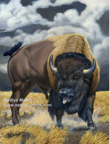 Nature Art, Nature Paintings, Wildlife Art, Wildlife Paintings, Original Acrylic Painting of a buffalo by Marilyn Marsh