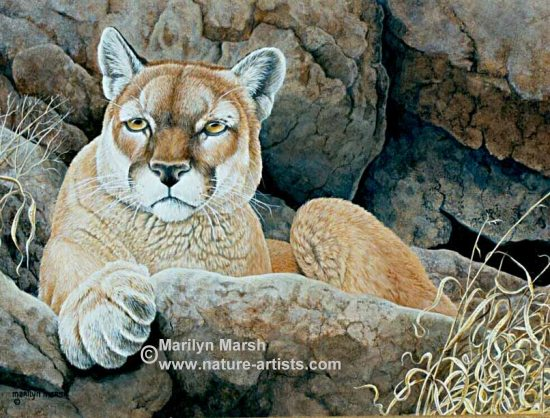 Acrylic Painting titled Waiting Game, a cougar painted by Marilyn Marsh