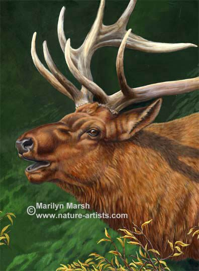 ONature Art, Nature Paintings, Wildlife Art, Wildlife Paintings, riginal Acrylic Painting of an elk bugling by Marilyn Marsh