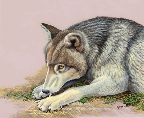 Nature Art, Nature Paintings, Wildlife Art, Wildlife Paintings, Original Acrylic Painting of a wolf picking at a bone by Marilyn Marsh