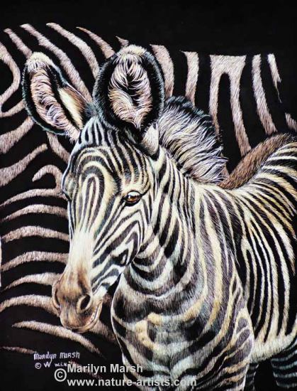 Nature Art, Nature Paintings, Wildlife Art, Wildlife Paintings, Original Scratchboard drawing of a Zebra foal by Marilyn Marsh