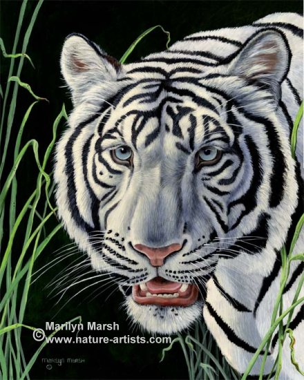 Original acrylic painting of a white tiger, by Marilyn Marsh
