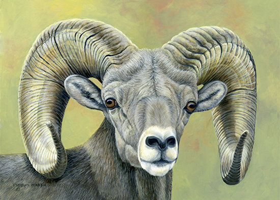 Acrylic Painting of a mountain sheep by Marilyn Marsh