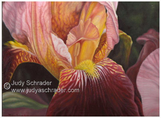 Original Oil Painting of a Maroon Iris by Judy Schrader